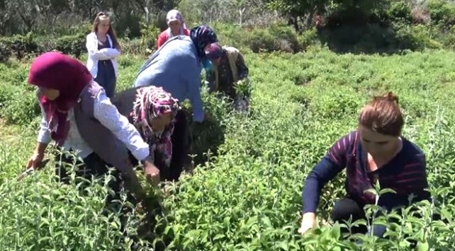 Trakya'daki köy Karadeniz'in çay bahçelerini aratmıyor