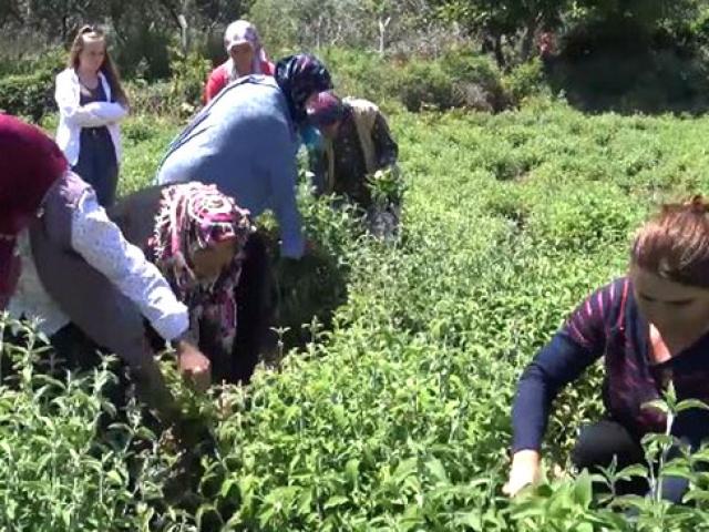 Trakyadaki köy Karadenizin çay bahçelerini aratmıyor