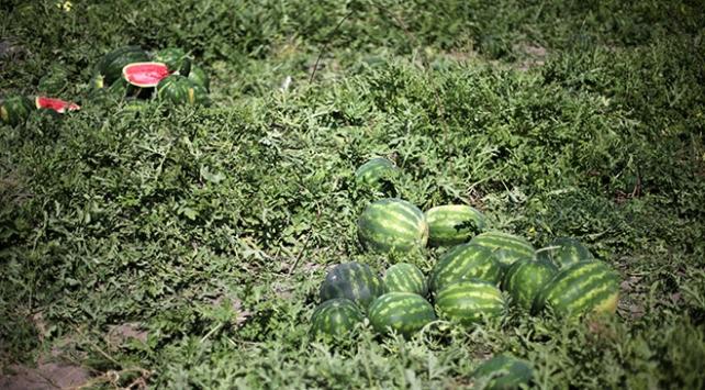 Adanada ilk karpuz hasadı