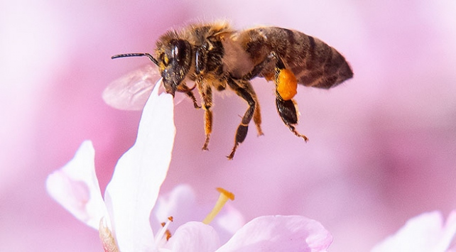 Arıların yüzde 40'ı yok olma riskiyle karşı karşıya