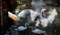 Ankara'nın göbeğinde neden kuğular var?