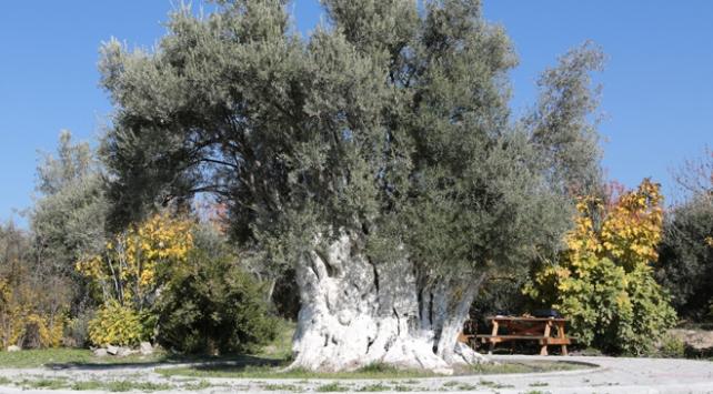 Mersindeki tarihi zeytin ağaçları tescillenecek