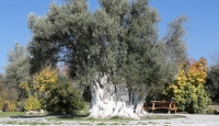 Mersin'deki tarihi zeytin ağaçları tescillenecek