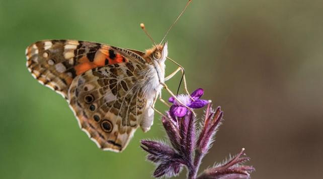 Diken kelebeklerinin Türkiyedeki göç rotaları belli oldu
