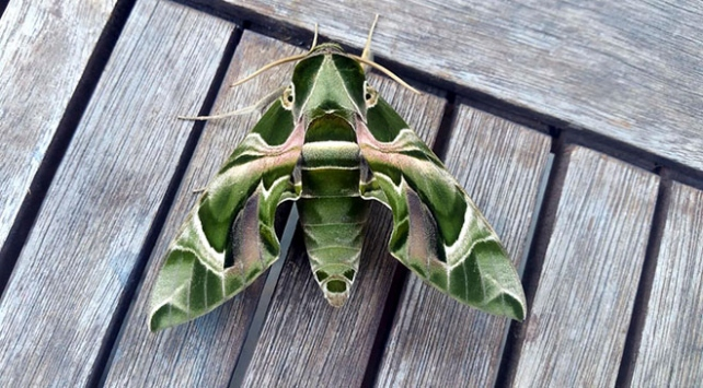 Bodrumda nadir rastlanan mekik kelebeği görüldü