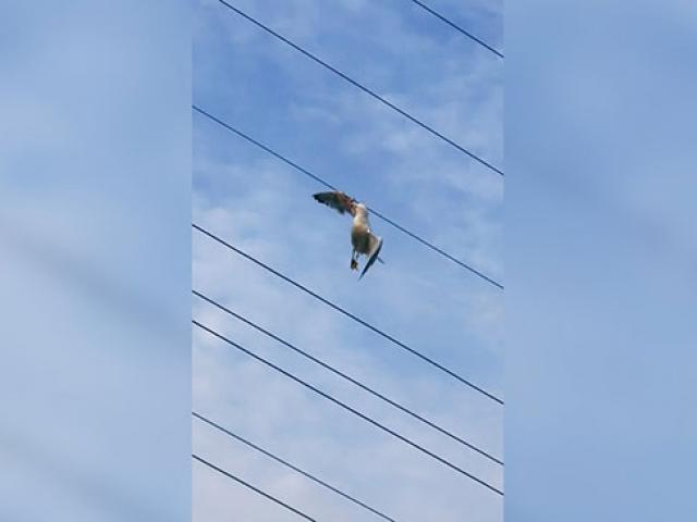 Kanadı elektrik tellerine takılan martı kurtarıldı