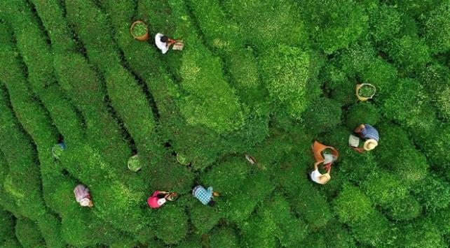 ÇAYKURdan son 20 yılın en yüksek yaş çay alımı