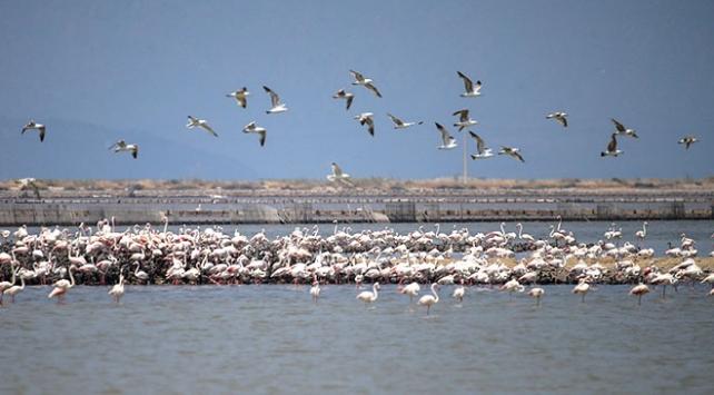 15 bini aşkın flamingo kanat çırpmaya hazırlanıyor