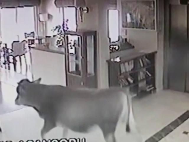 Sıcaktan bunalan inek soluğu otelin lobisinde aldı