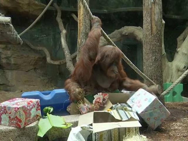 Paris'te orangutan Nenette için doğum günü partisi düzenlendi