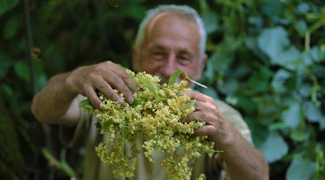 Türkiye'nin en büyük ıhlamur ormanlarında hasat zamanı