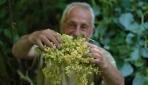 Türkiyenin en büyük ıhlamur ormanlarında hasat zamanı