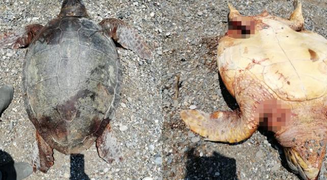 Tüfekle vurulmuş caretta carettalar bulundu