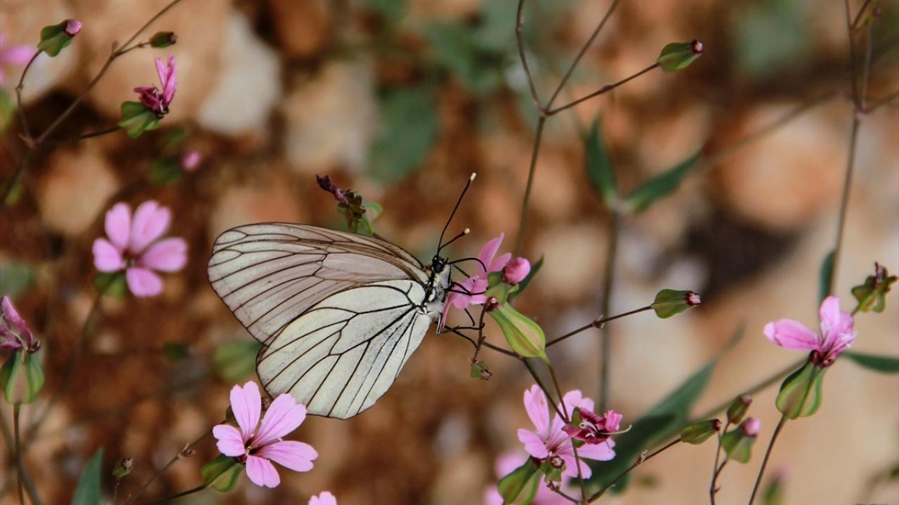 Yaz gelince Ovacık kelebeklerle şenlendi