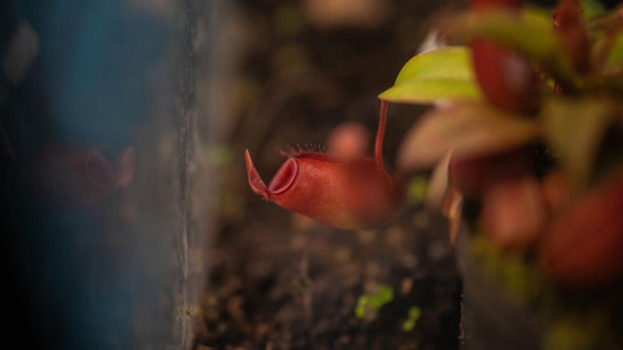 Kolombiya Botanik Bahçesindeki etçil bitkiler