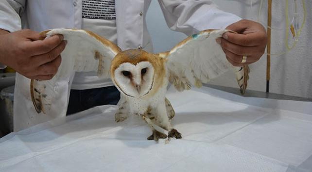 Yaralı peçeli baykuş yavrusu tedavi altına alındı