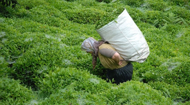 ÇAYKURun birinci sürgün yaş çay alımı rekorla tamamlandı