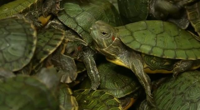 Havalimanında 5 binden fazla kaplumbağa ele geçirildi