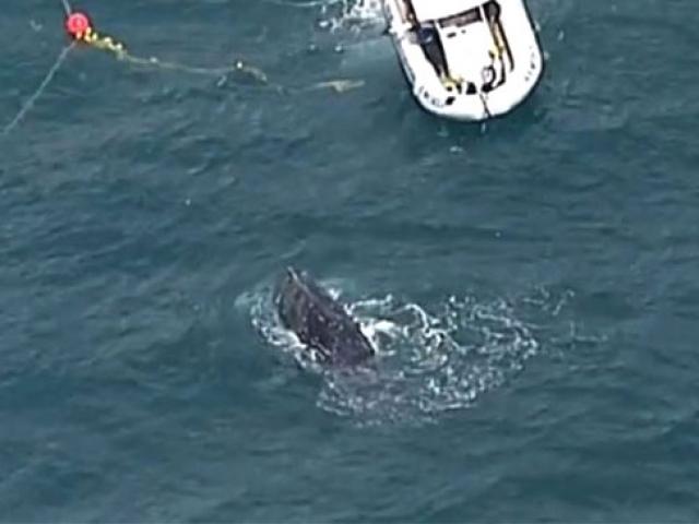 Avustralya'da ağa takılan balina kurtarıldı