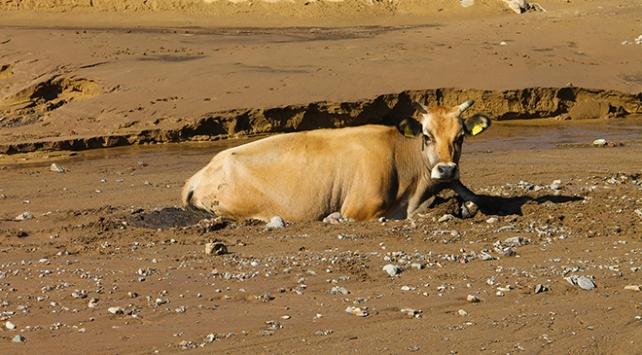 Bataklığa saplanan ineği belediye ekipleri kurtardı
