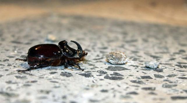Tokatta gergedan böceği bulundu