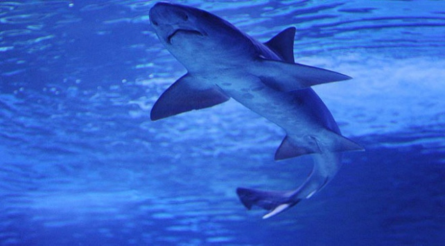 Tanınmış okyanus yüzücüsü Shultza köpek balığı saldırdı