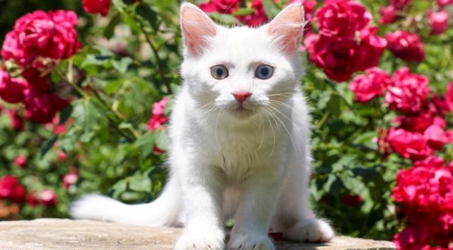 Van kedilerinin işitme problemi olmadığı tespit edildi