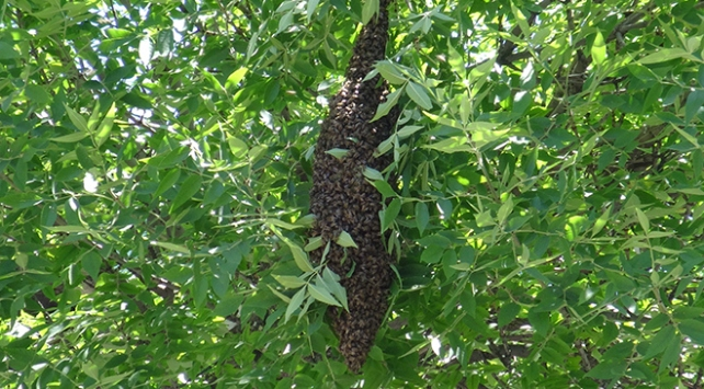 Firar eden arı kolonisi vatandaşları endişelendirdi