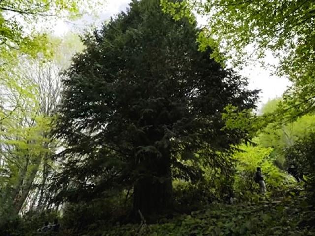 Dünyanın en yaşlı porsuk ağacı Zonguldakta