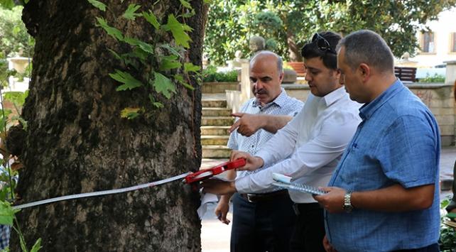 Kocaelide asırlık ağaçların bakımı yapılacak
