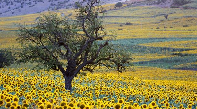 Ayçiçeği tarlaları manzarası ile ziyaretçilerin uğrak mekanı haline geldi