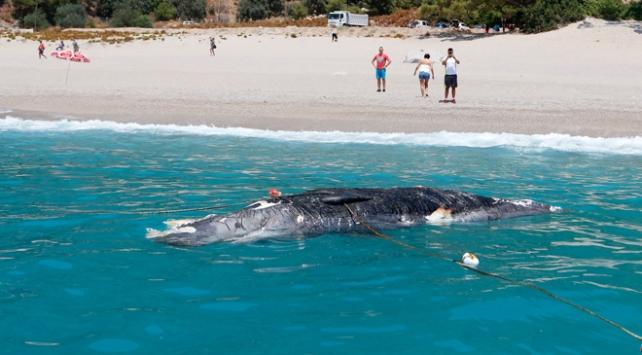 Muğlada ölü balina kıyıya vurdu