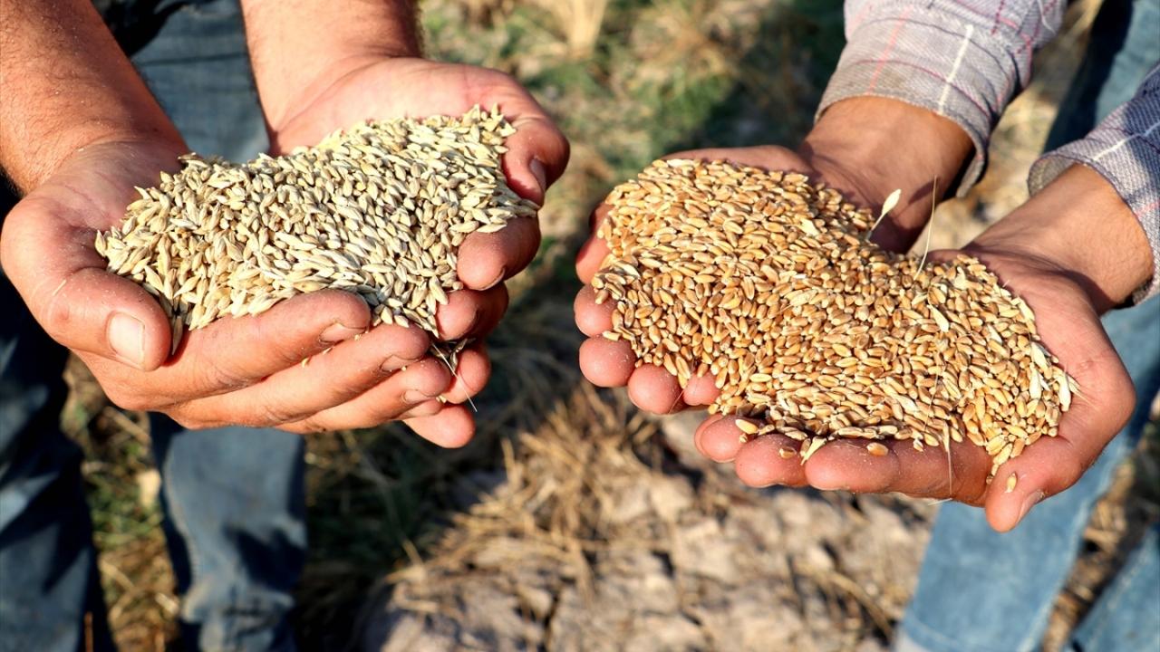 Diyarbakırda buğday ve arpa üreticisini sevindirdi