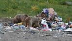 Bozayılarla özçekim için şehir çöplüğüne gittiler