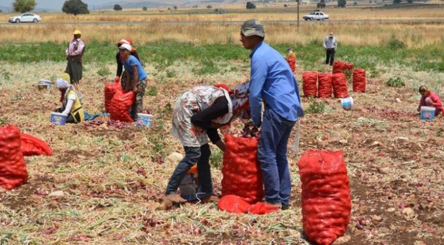 Gaziantepte mor kuru soğan hasadına başlandı