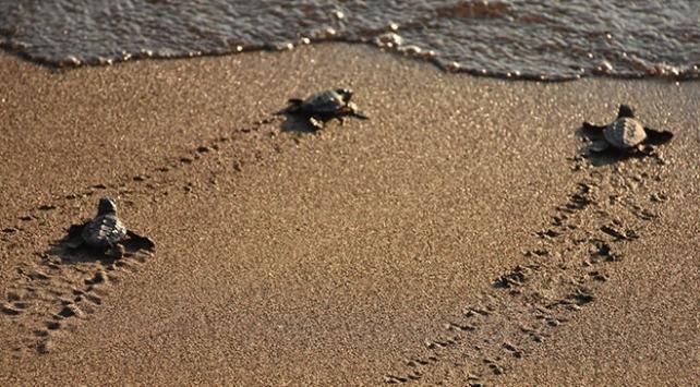 40 bin caretta caretta yavrusu denize ulaşacak