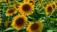 """""""Güne aşık"""" tarlaları görenleri etkiliyor"""