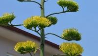 Agave bitkisi 20 yıl sonra çiçek açtı