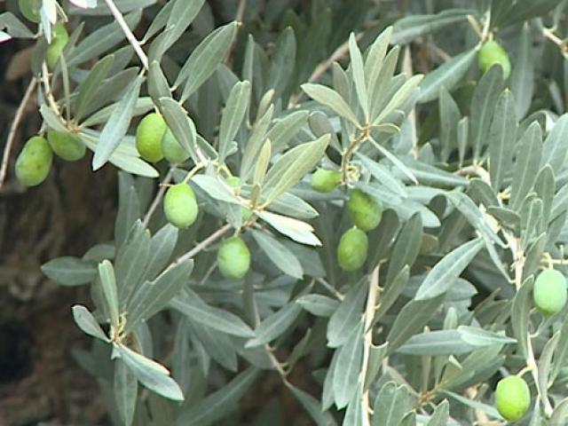 Mersindeki bin 200 yıllık zeytin ağacı yeni yerinde meyve verdi