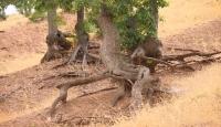 Diyarbakır'da kökleri dışarıda kalan ağaçlar ilginç görüntüler oluşturuyor