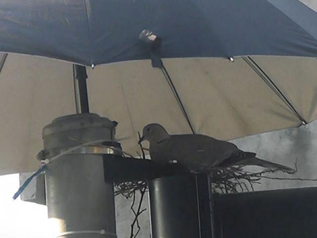 Kumru ve yavrularını sıcaktan şemsiyeyle korudular