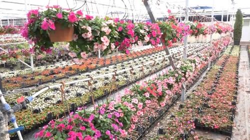Edremit'te süs bitkileri için seralar kuruluyor