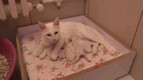 Tek seferde en çok yavru doğuran Van kedisi Nazlı