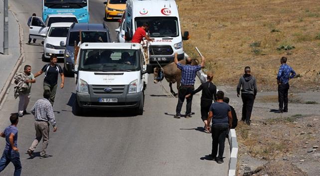 Erzurum'da kaçan kurbanlık güçlükle yakalandı ile ilgili görsel sonucu