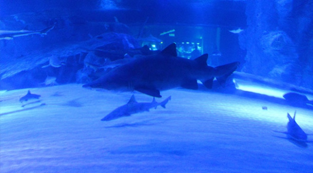 Antalyadaki köpekbalıkları dalgıç korumalar eşliğinde besleniyor