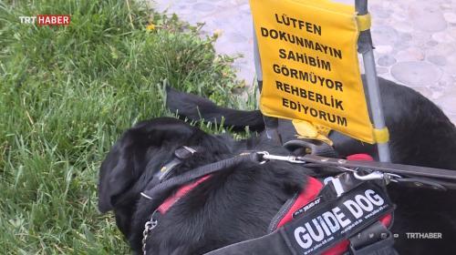 Rehber köpekler görme engellilerin hayatını kolaylaştırıyor