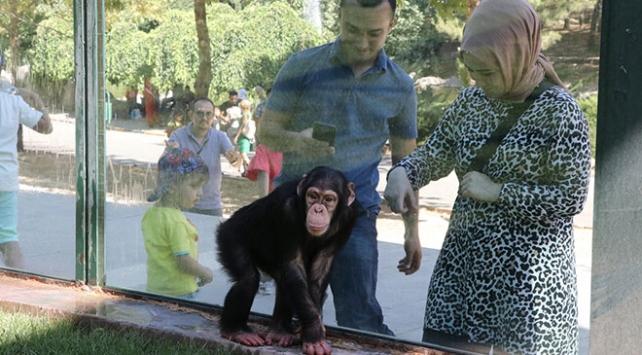 """Şempanze """"Can"""" ve akrabaları yeni yuvalarına kavuşuyor"""