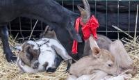 Yavru alageyiğe keçi süt anne oldu