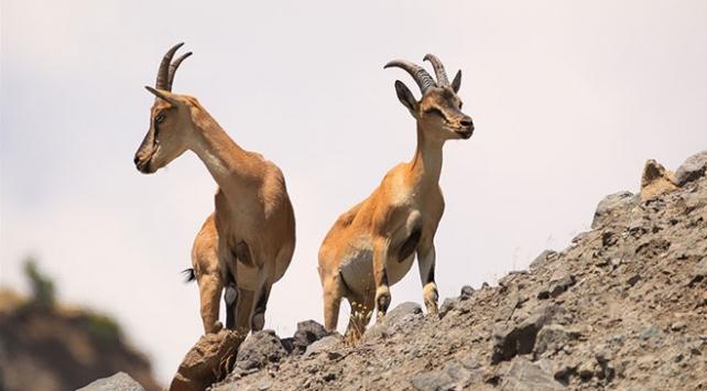 Bingölde dağ keçilerini koruma nöbeti