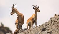 Bingöl'de dağ keçilerini koruma nöbeti